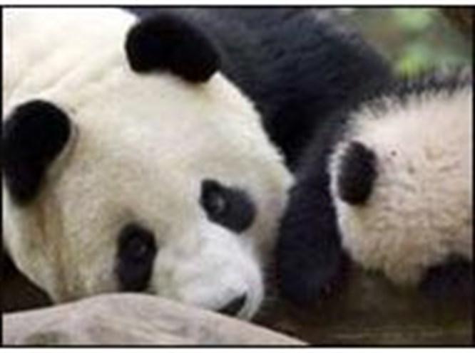 Pandalardan sevindirici haber